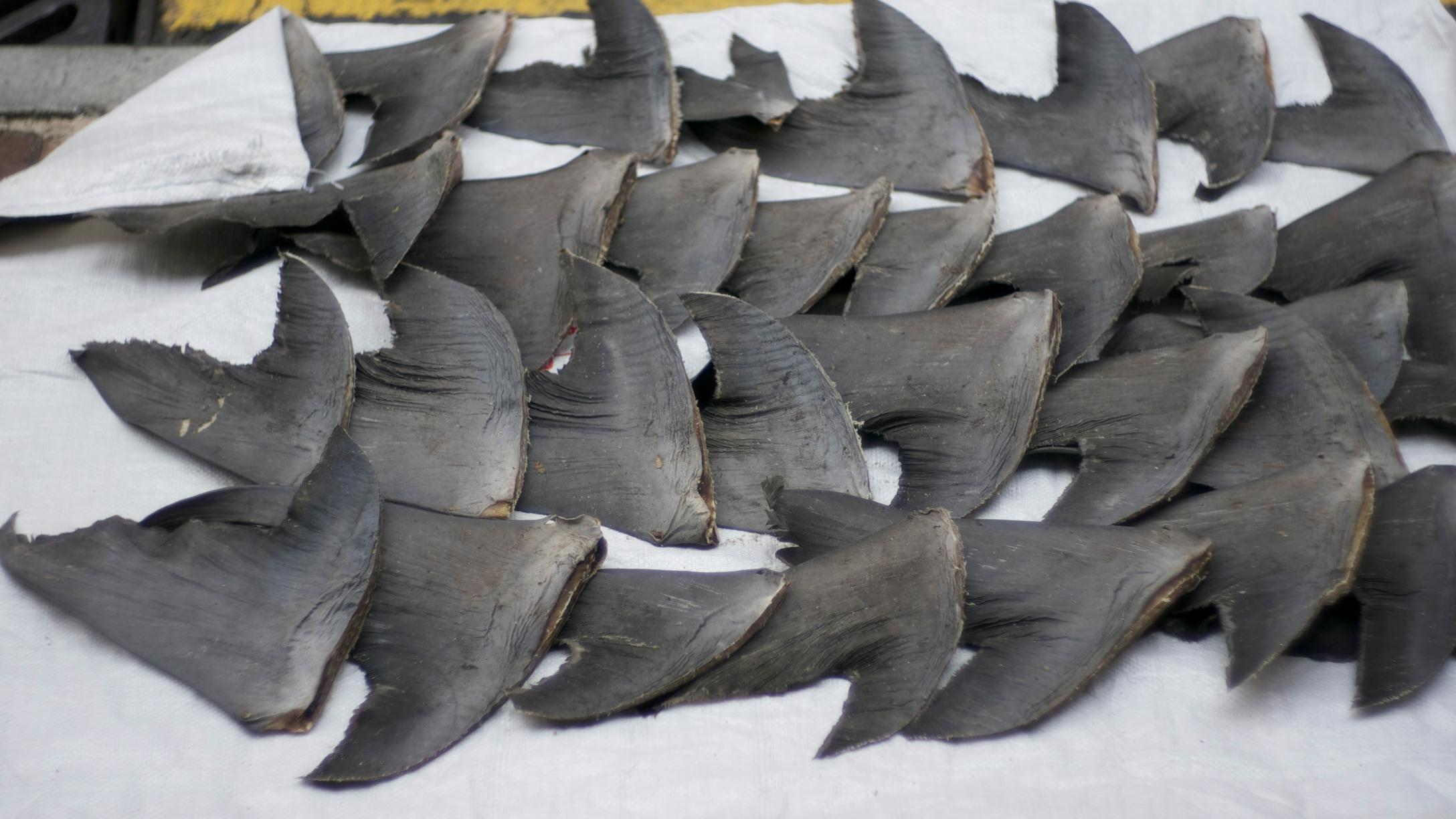 Figure 1. Shark fins have been cut from the main part of body, drying in Macau, China (Wang, 2011). Used under Creative Commons Attribution-NonCommercial-ShareAlike 2.0 Generic license (http://creativecommons.org/licenses/by-nc-sa/2.0/)