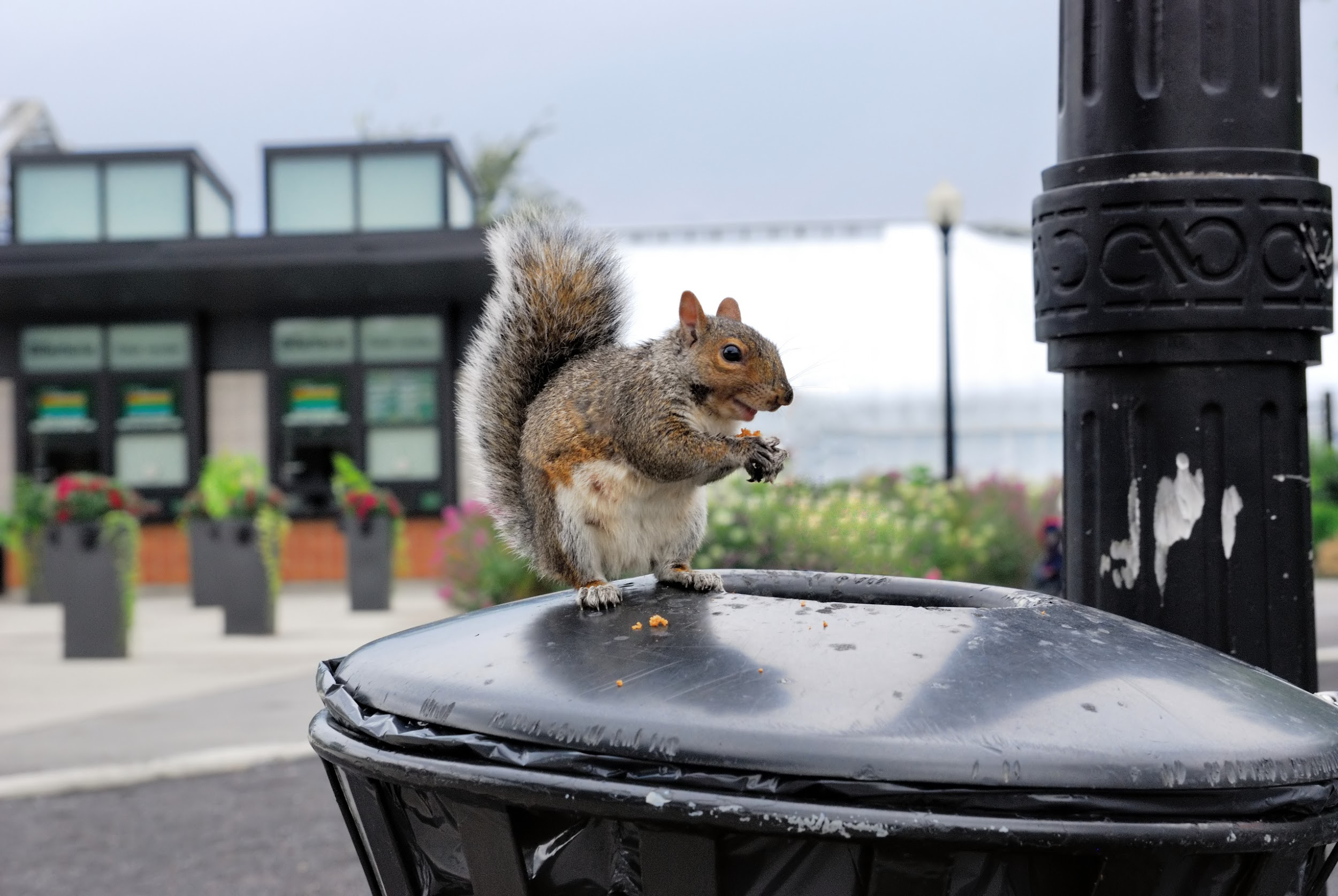 Figure 2 - This image and the one following are representative of our case study. All sorts of critters occupy our urban landscape, such as squirrels. (https://upload.wikimedia.org/wikipedia/commons/6/69/Urban_wildlife_-_squirrel.jpg)
